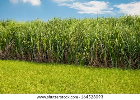 Sugarcane field next to rice field in cloudy sky - stock photo