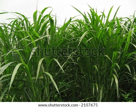 Sugarcane Field -- the scientific name for this plant is Saccharum - stock photo