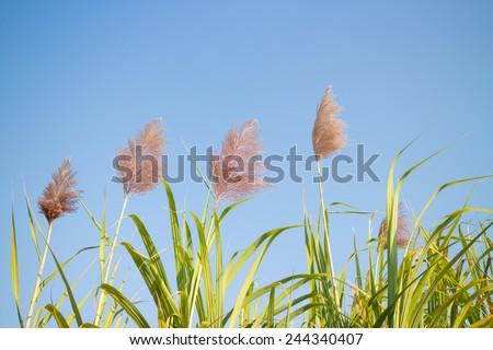 Sugarcane flower - stock photo