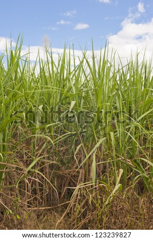 Sugarcane growing on a plantation in Costa Rica. - stock photo