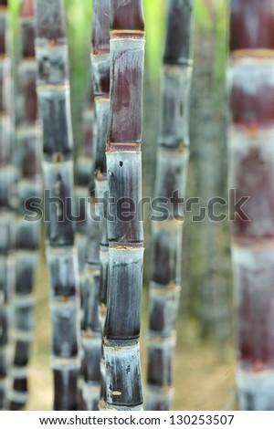 sugarcane plant grow at field - stock photo