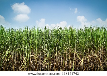 sugarcane plantation - stock photo
