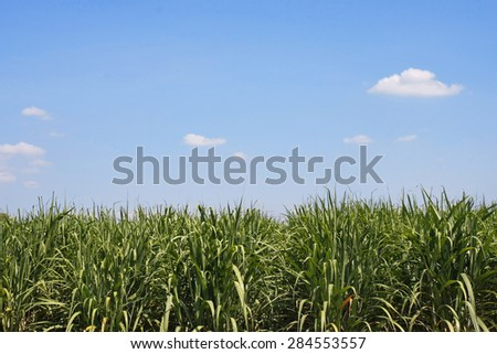 Sugarcane plantation field with blue sky in Thailand - stock photo