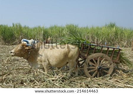 sugarcane plantation in Maharashtra,India. - stock photo
