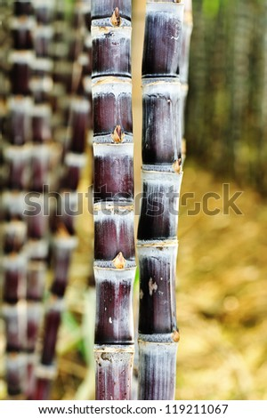 sugarcane plants - stock photo