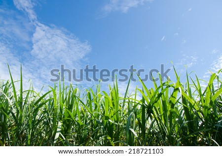 sugarcane plants grow in field. on clear sky. - stock photo