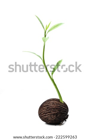 Suicide tree, Pong seed is growing a new life - stock photo