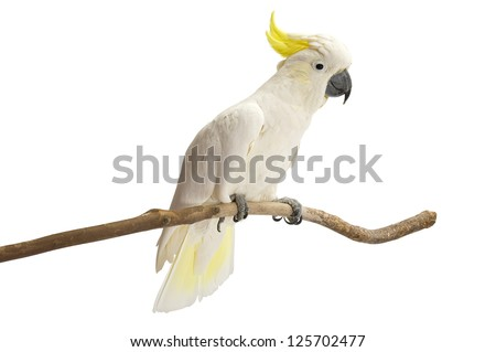 Sulphur-crested Cockatoo,  Cacatua galerita perched in front of a white background. - stock photo