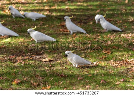 Sulphur crested Cockatoo on a green grass with autumn leaves. White and yellow birds on autumn background - stock photo