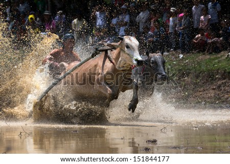 SUMATERA - AUGUST 24: An unidentified jockey steers two bulls across the muddy paddy fields in the bull race of the 'Pacu Jawi' festival on August 24, 2013 in Batu Sangkar, West Sumatera, Indonesia. - stock photo