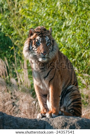 Sumatra Tiger - stock photo