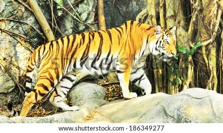 sumatran tiger - stock photo