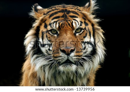 Sumatran Tiger against black background staring at the camera with an aggressive look. - stock photo