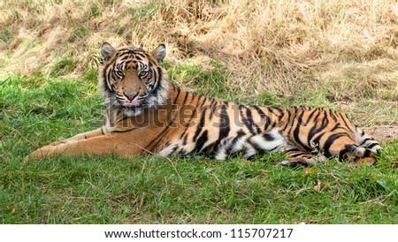 Sumatran Tiger Lying in the Grass Panthera Tigris Sumatrae - stock photo