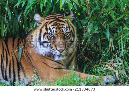 Sumatran tiger lying in the shade of bamboo bushes - stock photo