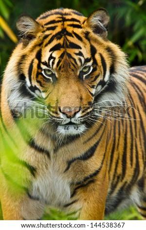 Sumatran tiger (Panthera tigris sumatrae)  - stock photo