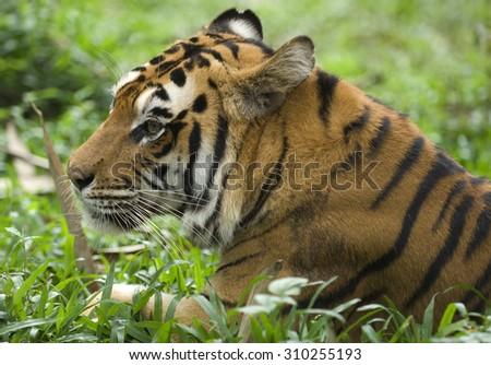 Sumatran tiger (Panthera tigris sumatrae) is a rare tiger subspecies that inhabits the Indonesian island of Sumatra - stock photo