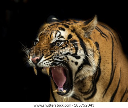 Sumatran Tiger Roaring  - stock photo