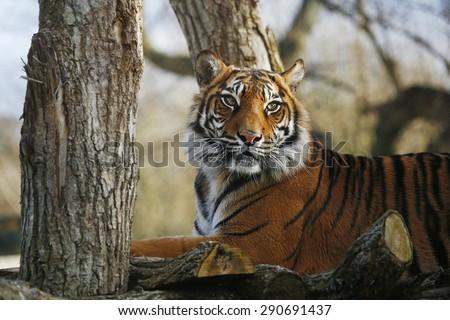 Sumatran Tiger sitting on a tree - stock photo