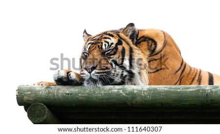 Sumatran Tiger Sleeping on Wooden Platform Isolated Panthera Tigris Sumatrae - stock photo