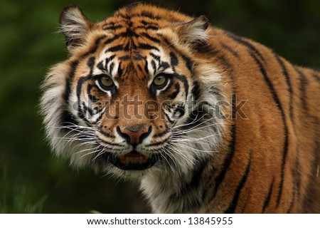 Sumatran Tiger snarling at the viewer. - stock photo