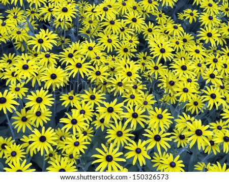Summer at a glance: Abundance of black-eyed Susans (botanical name: Rudbeckia hirta), common in Illinois and elsewhere in the central United States, in August - stock photo