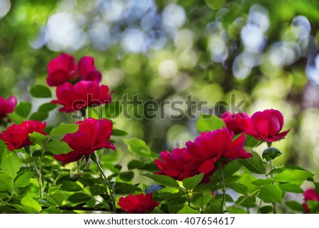 Summer background with blooming rose bush, selective focus, shallow depth of field - stock photo