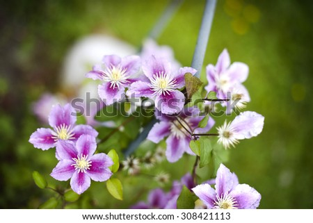 summer background with flowers of clematis - stock photo