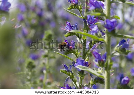 Summer blossoming lupins and the bee - stock photo