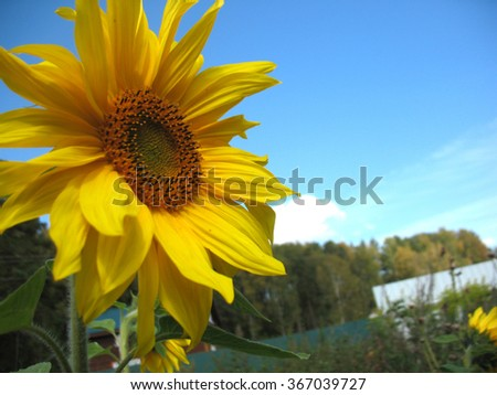 Summer  blossoming of  sunflower  and green leaves                          - stock photo