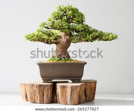 summer bonsai azalea tree - stock photo