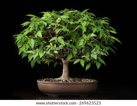 summer bonsai elm tree - stock photo