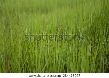 Summer cord grass grows along the edge of a salt marsh on Cape Cod, Massachusetts. Marshes are important parts of the ecosystem, providing habitat and food for fish, invertebrates, and birds. - stock photo