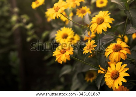 summer coreopsis flowers - stock photo