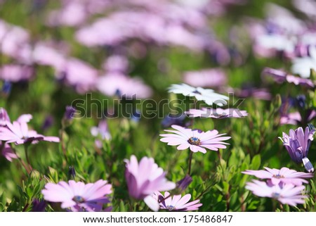 Summer daisies background with selective focus to a pretty dainty purple daisy cultivated as an ornamental ground cover in landscaping and gardens - stock photo