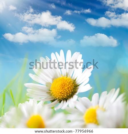 Summer - Daisy, blue sky and the sun behind - stock photo