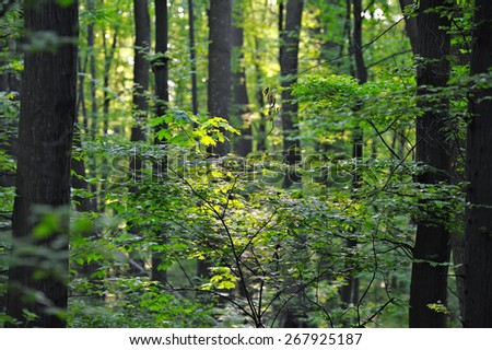 Summer deciduous forest - stock photo
