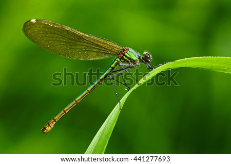 Summer dragonfly Banded Demoiselle, Calopteryx splendens. Macro picture of dragonfly on the leave. Dragonfly in the nature. Dragonfly in the nature habitat. Dragonfly sitting on the green leave. - stock photo