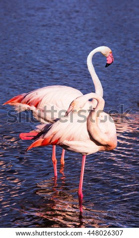 Summer evening in the Camargue national park. Rhone Delta, Provence. Pair of graceful pink flamingos - stock photo