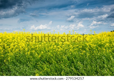 Summer field landscape, yellow rapeseed flowers - stock photo