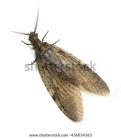 Summer Fishfly (Chauliodes Pectinicornis) on a white background - stock photo