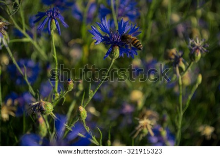 Summer floral background with bee and blue wild cornflower - stock photo
