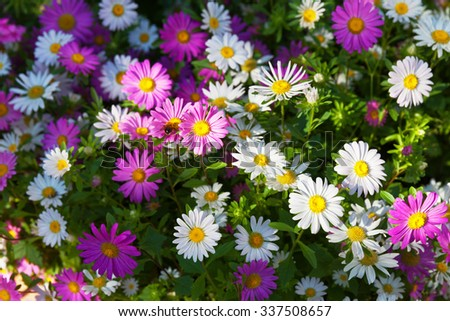 Summer floral background with white and pink garden chrysanthemums - stock photo