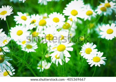 summer flowers camomile blossoms on meadow - stock photo