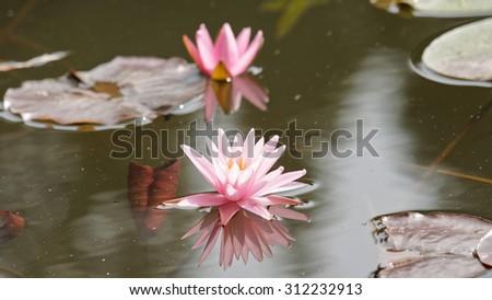 Summer flowers series, blossom lotus flower in pond; focus on flower, silky water - stock photo
