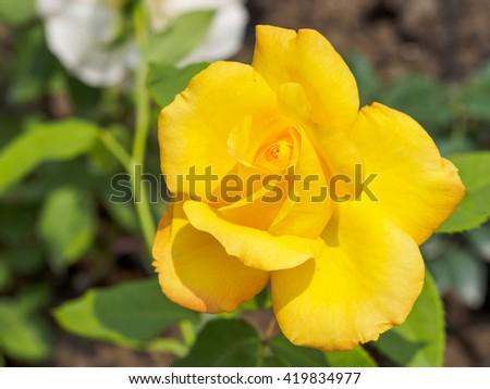 Summer flowers series, macro of beautiful yellow rose. - stock photo
