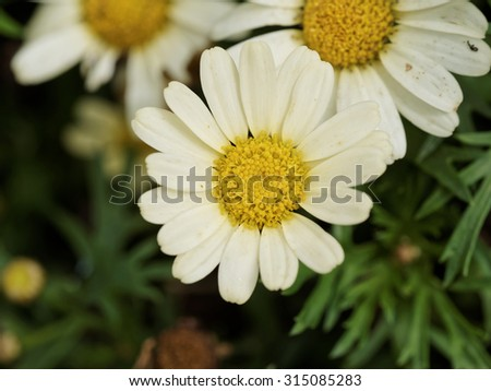 Summer flowers series, Yellow hearted gerbera flowers with yellow petals from close in nature - stock photo