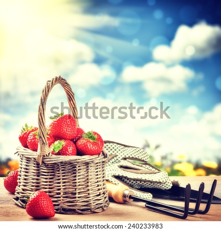 Summer harvest of fresh strawberries. Gardening concept - stock photo
