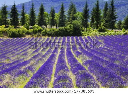Summer in Provence.Lavender field. - stock photo