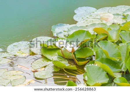summer lake with water-lily flowers on blue water - stock photo